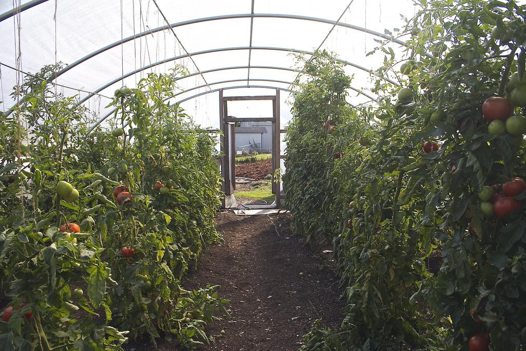 Tomato Greenhouses